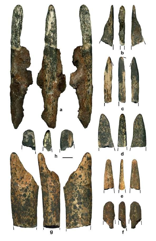 Was Paranthropus robus...